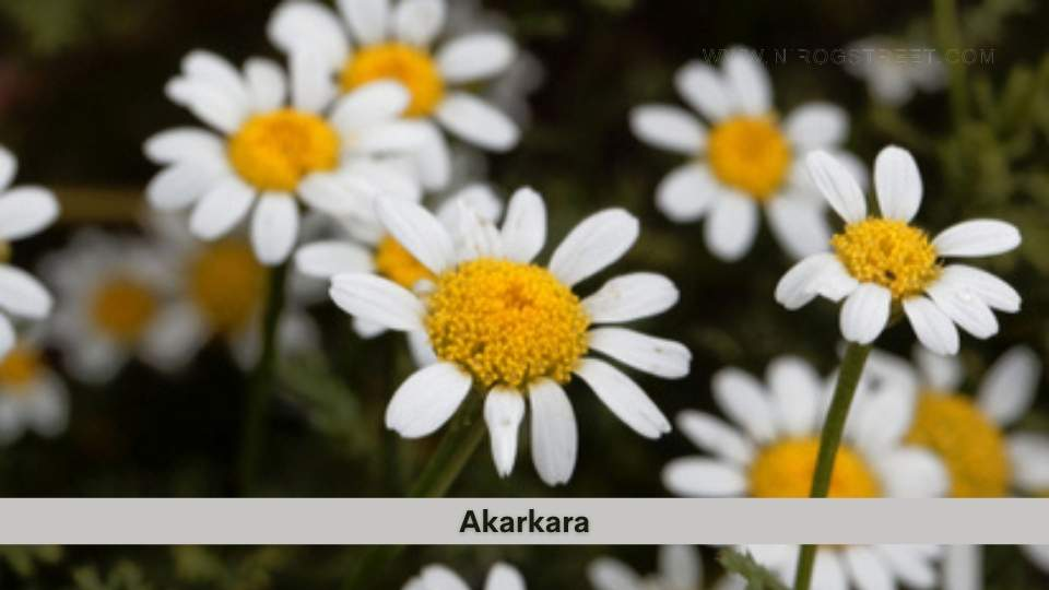 Akarkara health benefits