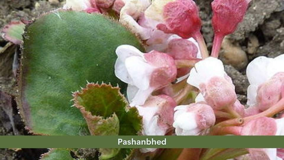 Pashanbhed