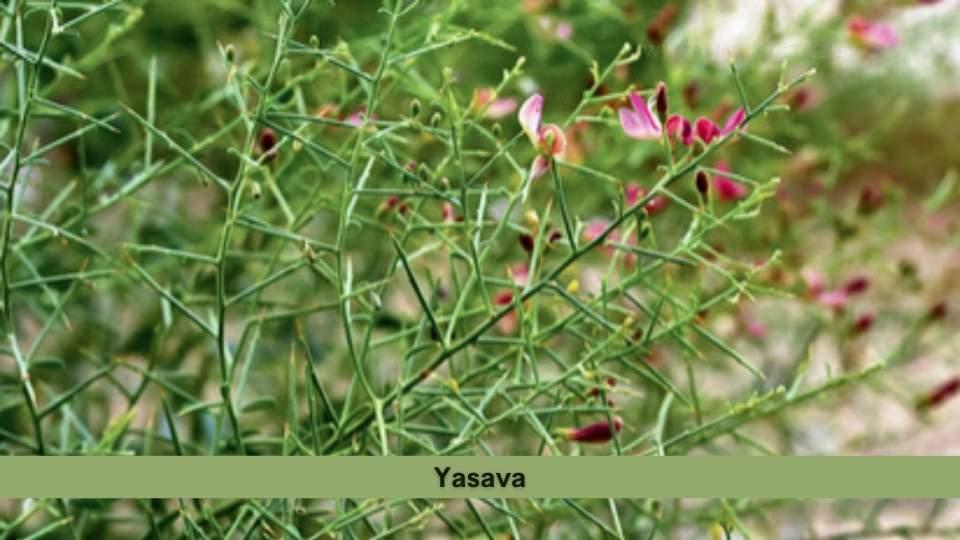 Yasava