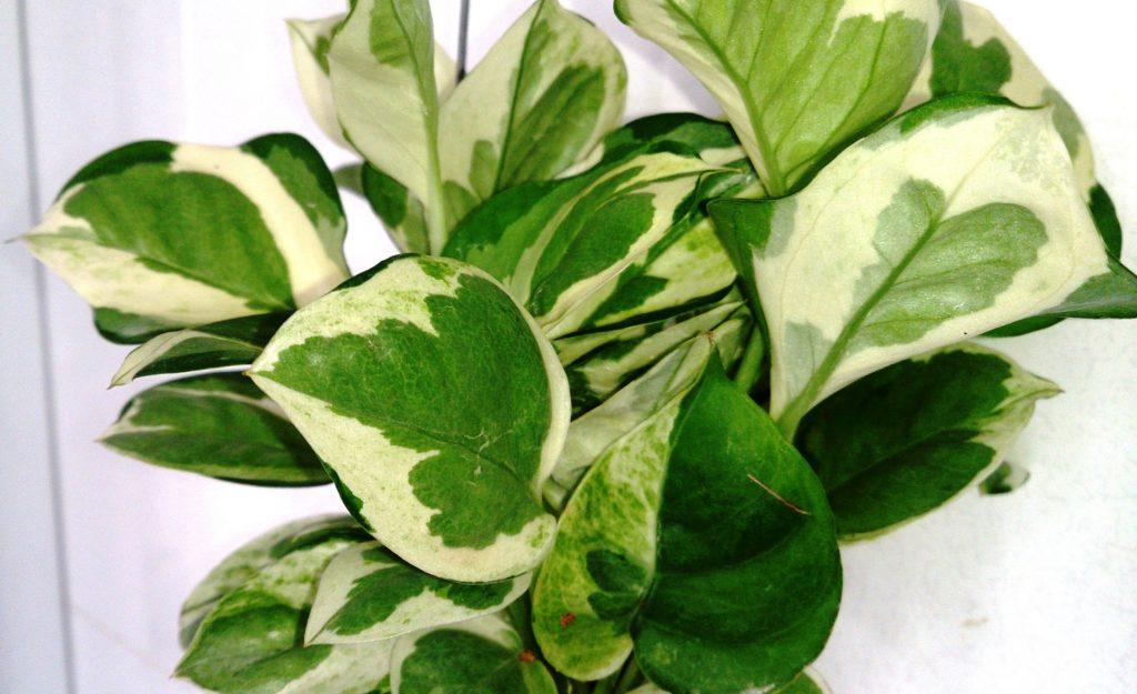 Money_Plant_(Epipremnum_aureum_'N'_Joy')_1