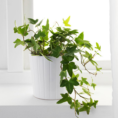 nurseryliev-hedera-helix-english-ivy-plant