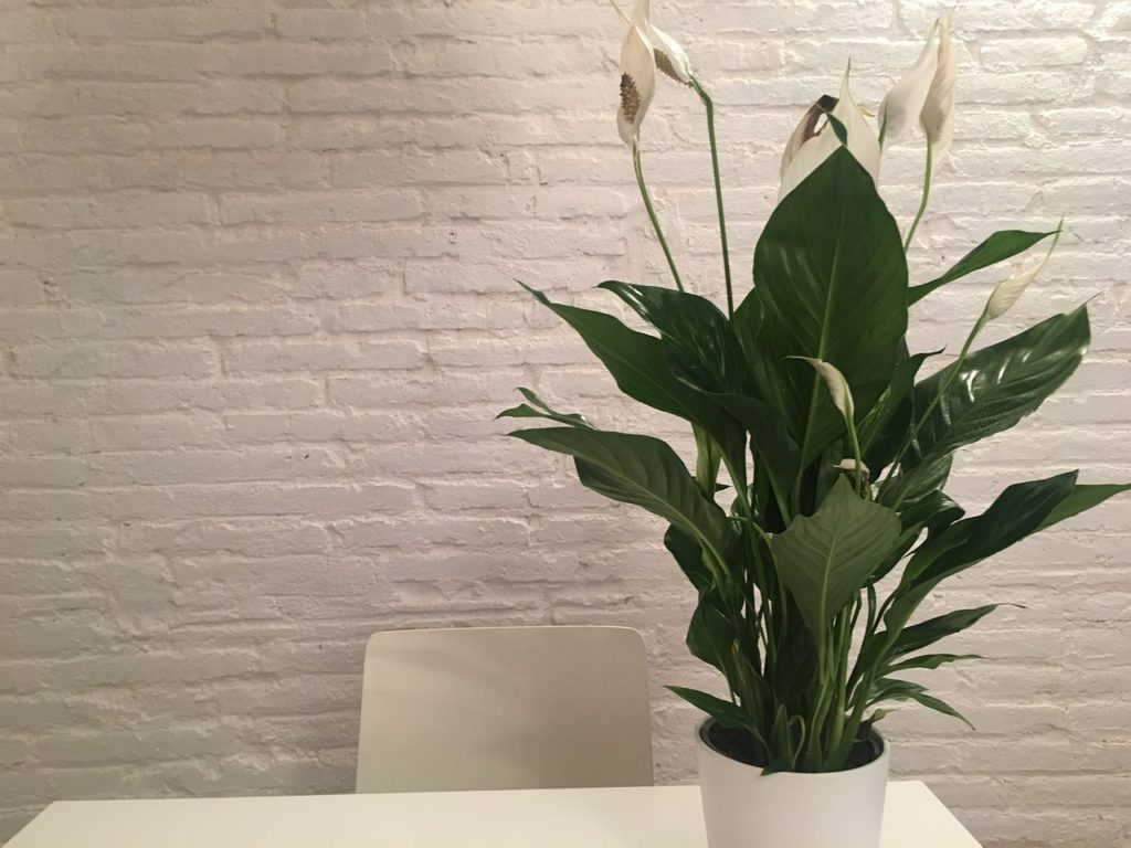 Design Decoration Inside Plant White Peace Lily
