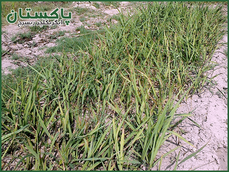 Sugarcane Sowing in Pakistan | Pakistan Agriculture Research