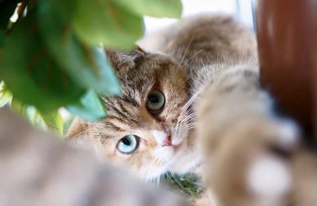 tigerน่ารักที่สุดค่ะ ที่ ร้านอาหาร Cat human cafe