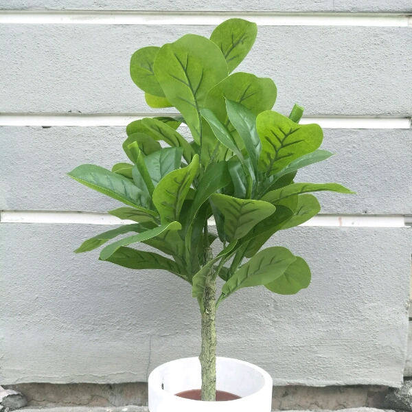 Plant - Fiddle Fig0