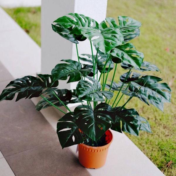 PLANT - MONSTERA MEDIUM0