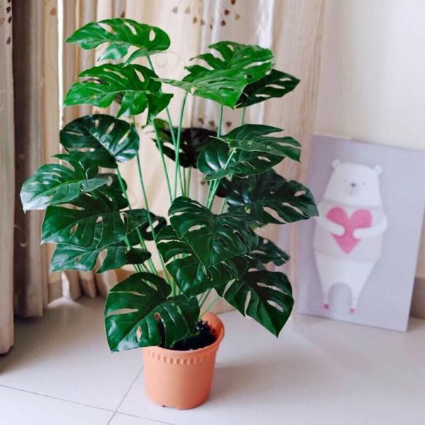 PLANT - MONSTERA MEDIUM1