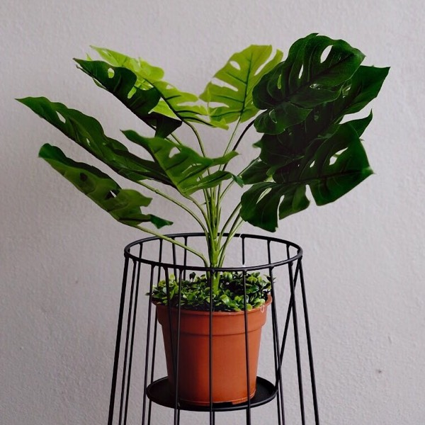 Plant - Monstera Small0
