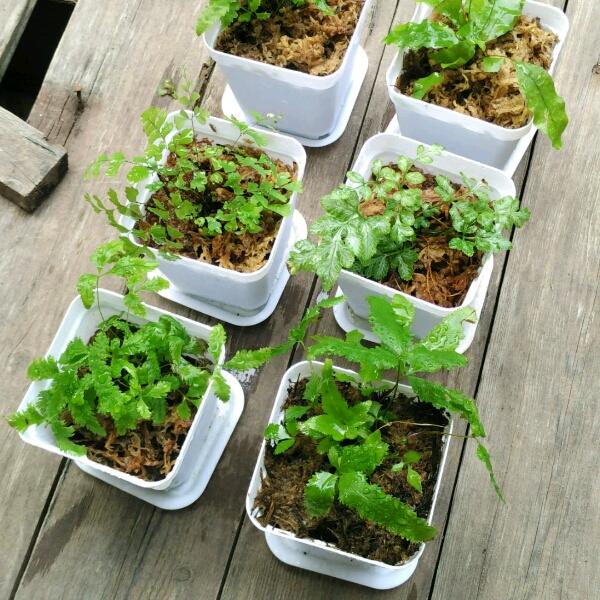 Pot Plant - Fern0