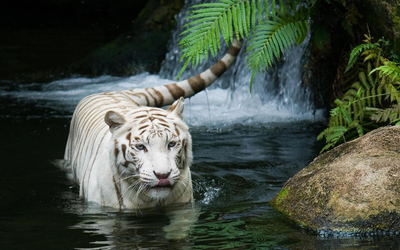 white_tiger_beautiful-wide.jpg