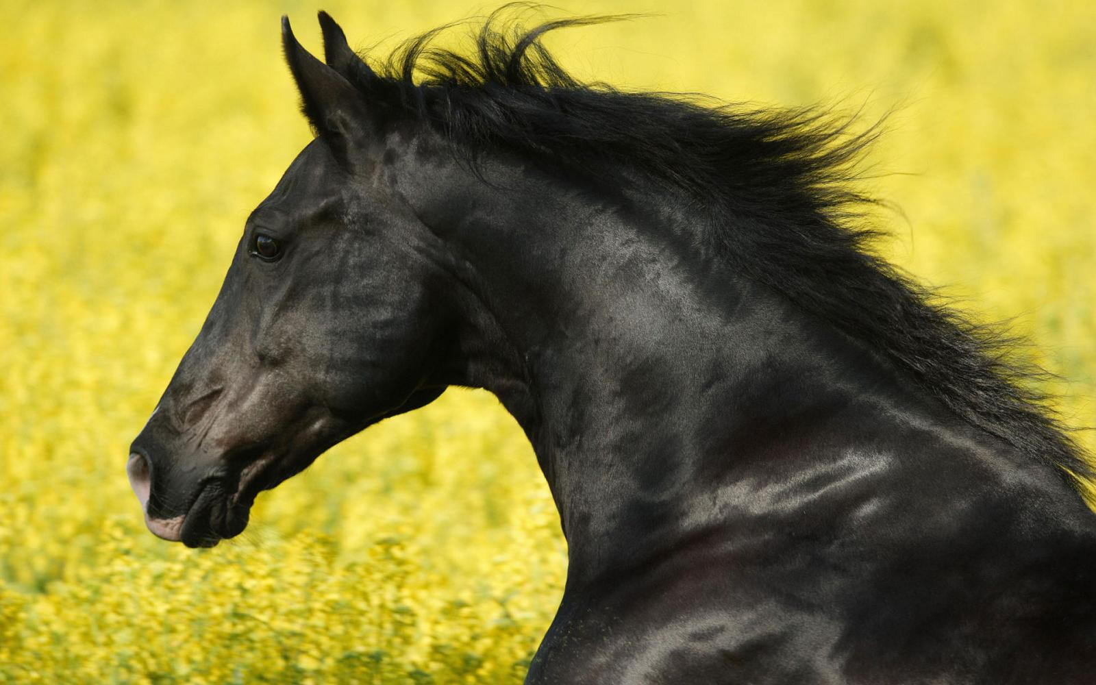 portrait_of_a_friesian-wide.jpg