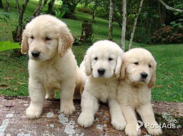 Golden Retriever Puppies Available Postads Ph