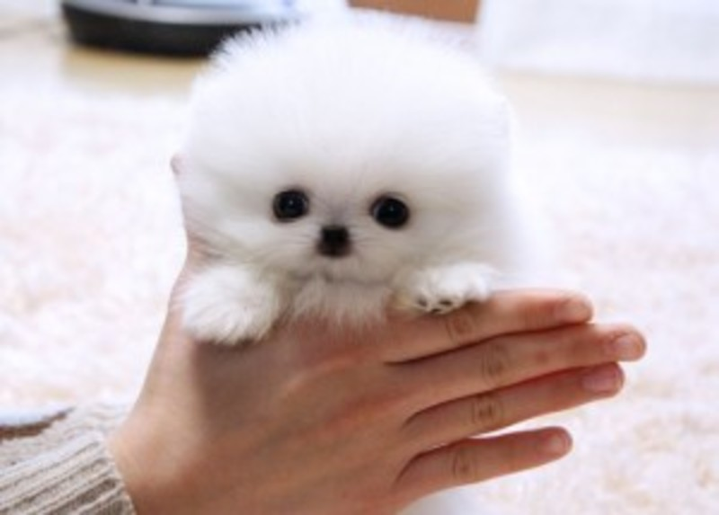 Registered Teacup Pomeranian Puppies For Sale Postads Ph