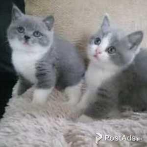British Shorthair Cats In Philippines Postads Ph