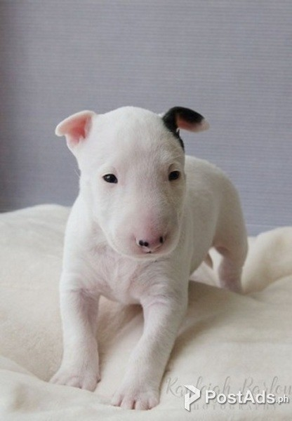 English Bull Terrier Puppies For Sale Postads Ph
