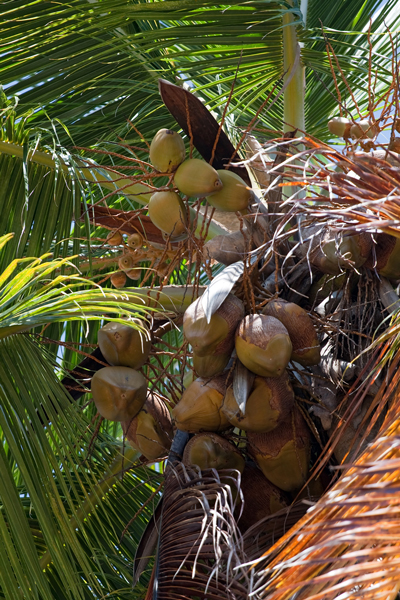 Virgin Coconut Oil is extracted from these coconuts. Image size:400x600px