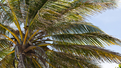 The coconut tree where virgin coconut oil is extracted by cold press. Image size:400x225px