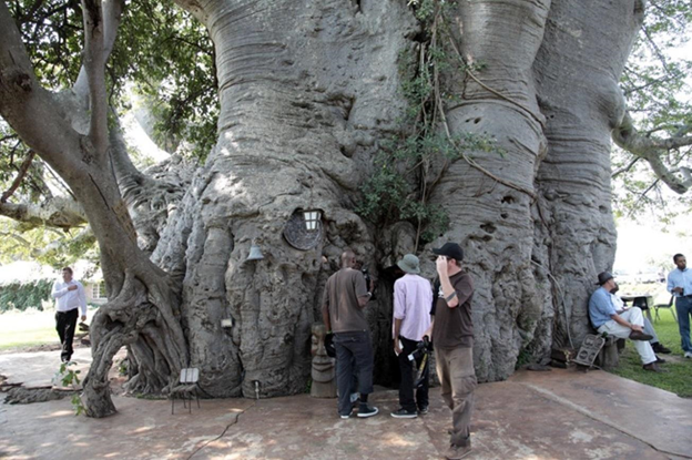 Baobab Tree, South Africa, Sunland Bar, Tree House, Pub Tree, Travel