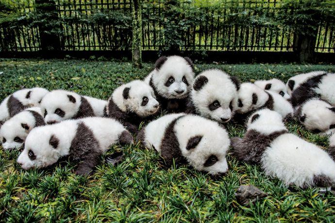 Panda, China, rent, loan, US, endangered, animal