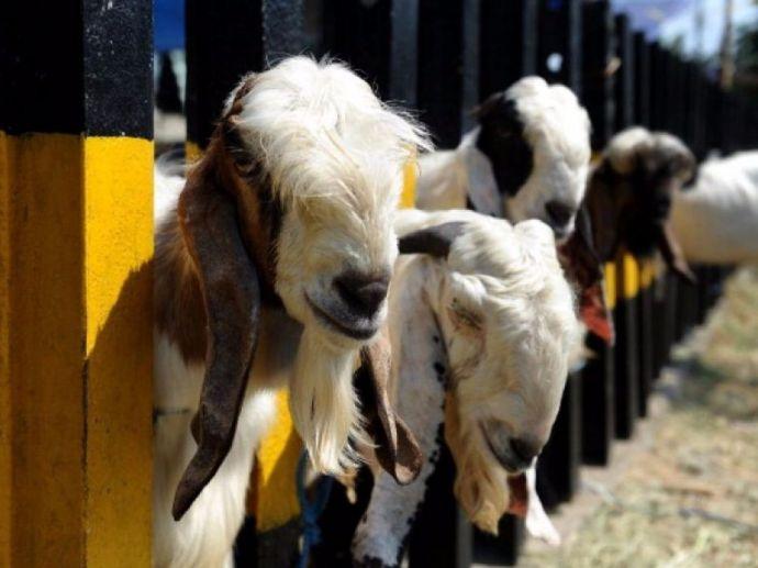 Eid al-Adha, eid, Sacrifice Animals, islam, muslims, goat, cow, meat, beef, ban, story, Ibraim, Ismail