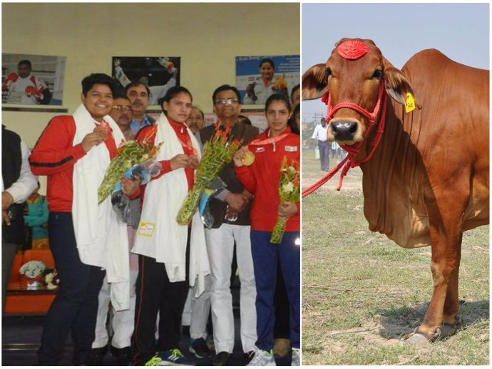 Haryana Govt, World Youth Women Boxing Championship, 2017, Gold Medal, Bronze medal, Cow