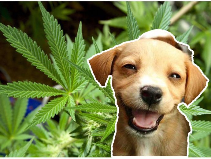 dog, treat, chews, weed, cannabis, infuse, oils, hemps, Canada, Vernon, British Columbia, facility