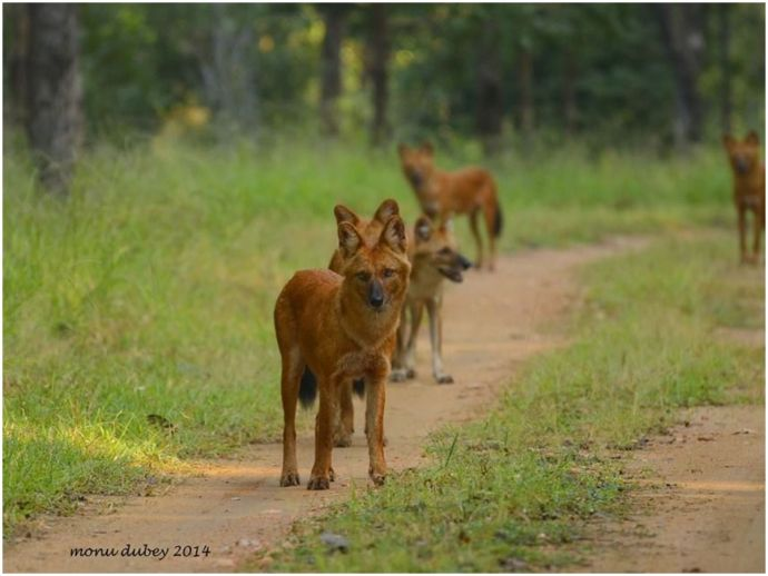 nagpur, pench, pench tiger reserve, wild dogs, wildlife, forest, wildlife sanctuary, wild dog deaths, poisoning, post mortem