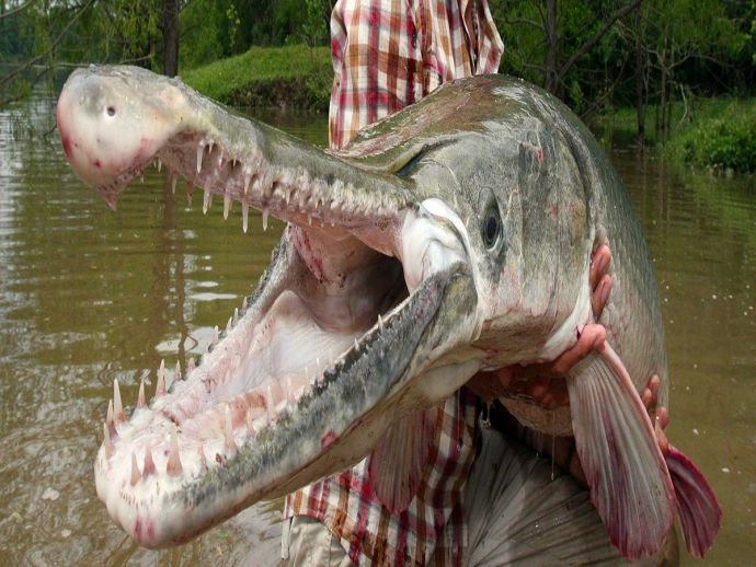 Pune, news, Pavana Dam, Alligator Gar, Northern American, fish, alligator, AM Gadwal, section engineer, carnivorous, bio-diversity, snout, teeth, fishermen, local, survival, Janak Bhonsale, fishery development officer