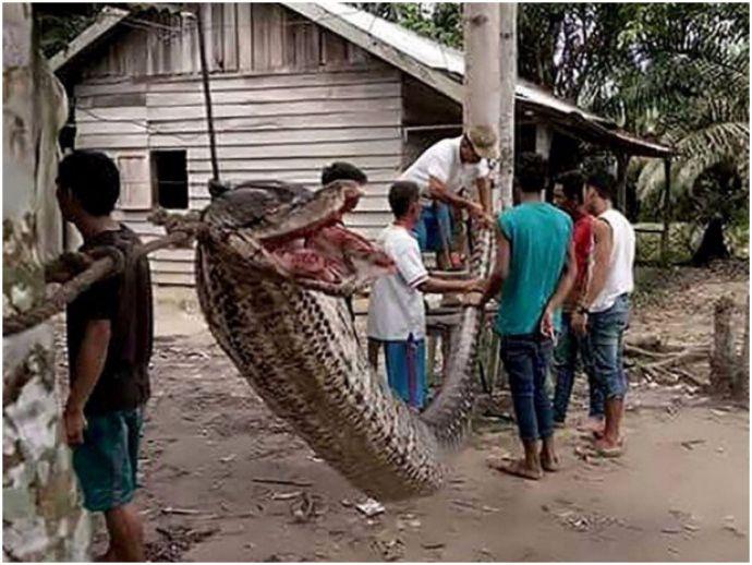 Indonesia, Phillipines, python, snake, giant python, Sumatra island