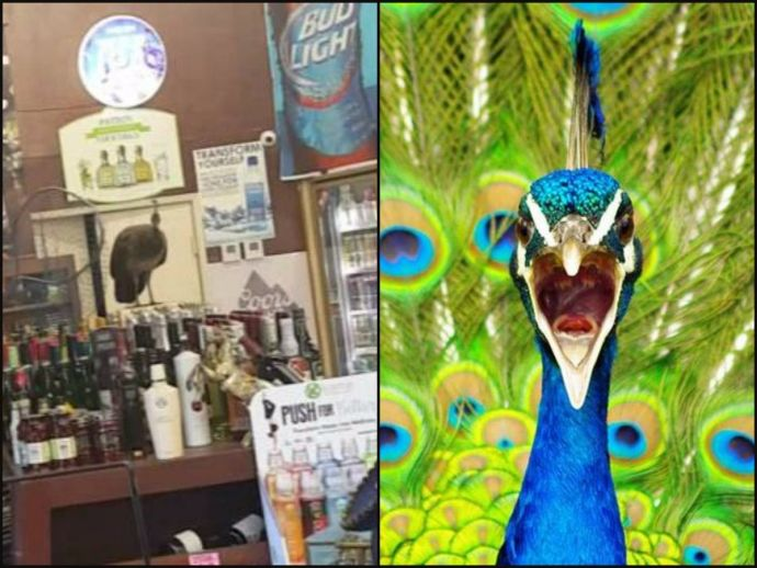 peacock, liquor store, california, arcadia, rajasthan, high court, virgin, national bird, india, judge, mc sharma, alcohol, tears, reproduction, funny, royal oak liquor store, Peacock Stranded Liquor, Peacock Ravages Liquor In California