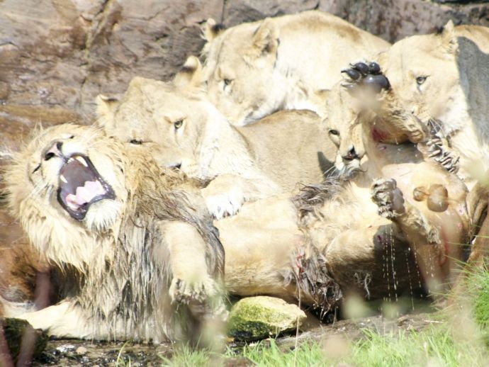 Lion, Lionesses, Pride, Safari, attack, officials, visitors, West Midlands Safari Park, video, Worcester, amateur photographer, Mya Beverstock, Kenya, flesh, blood, fire extinguishers, meat