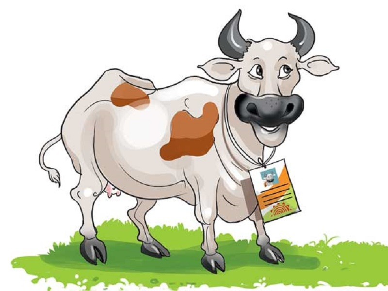 Cow, Humans, Voter ID, India, Maharashtra, Smuggling, Pakistan, Bangladesh