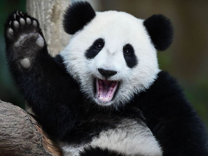 Panda, China, rent, loan, US, endangered, animal