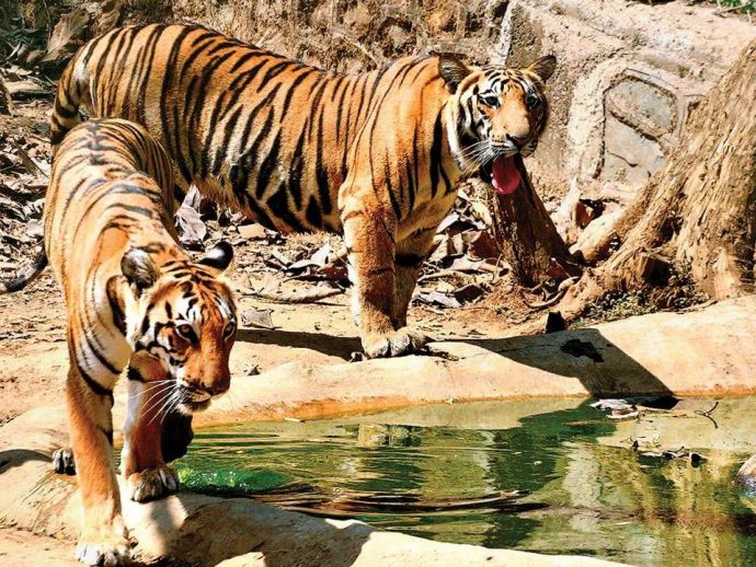 Nagpur, Melghat Tiger Reserve, MTR, Navegaon-Nagzira Tiger Reserve, NNTR, forest department, Maharashtra state government, relocation package, relocated villagers, Tipeshwar, Pench, Tadoba-Andhari, National Tiger Conservation Authority, NTCA, Wildlife (Pr