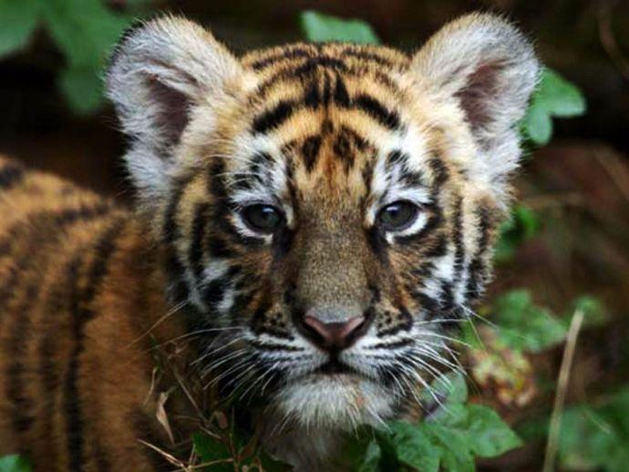 Baahubali, Nandankanan Zoological Park, Zoo, name, Tiger Baahubali, tiger, cub, Odisha