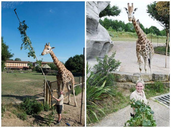 giraffe, giraffe habits, giraffe cute, selfie, selfies, selfie stick