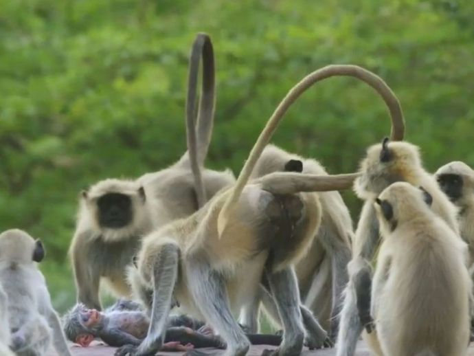 BBC One, Langur Monkeys, Grieving, Death, Fake Monkey, Spy In Wild, Rajasthan, india