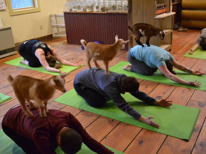 Goat Yoga, Jenness Farm, Nottingham, New Hampshire, England, Goats During Yoga Sessions, Yoga Sessions Among Goats, Goat Yoga By Peter Corriveau