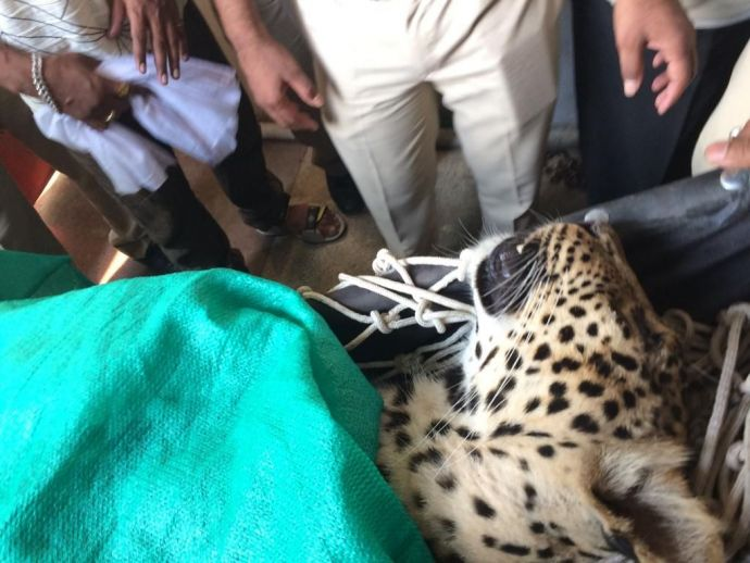 Nagpur, leopard, lata mangeshkar college, police colony, isasani, trapped, rescue, forest officials, wild cat, big cat, team, tranquilize, injection, operation, save, injuries, Amol, Parag Vaysakar, police officer, bathroom, washroom, duration, 9 hours, h