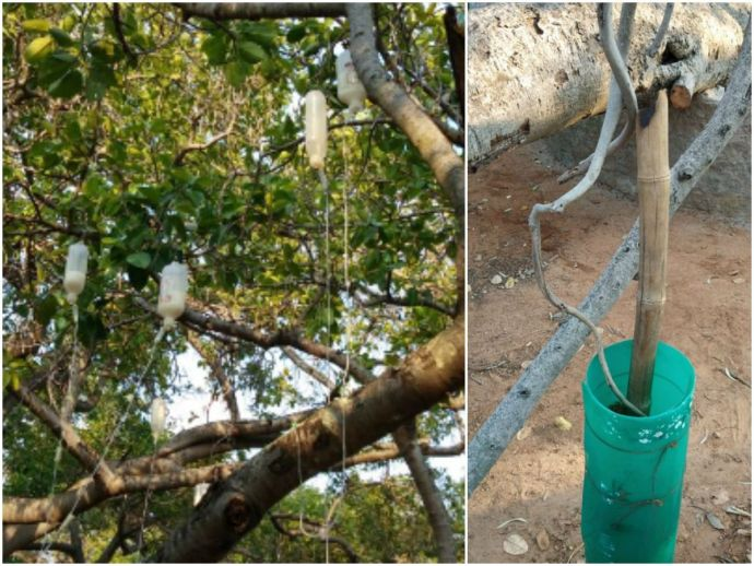 Banyan tree, Pillalamarri, Mahabubnagar, Telangana, second, largest, dying, threat, injection, saline, drip, bottles, rejuvenation, revival, renew, revitalise, forest department, team, officials, chemical, shots, Chukka Ganga Reddy, Chlorpyrifos, 700 year
