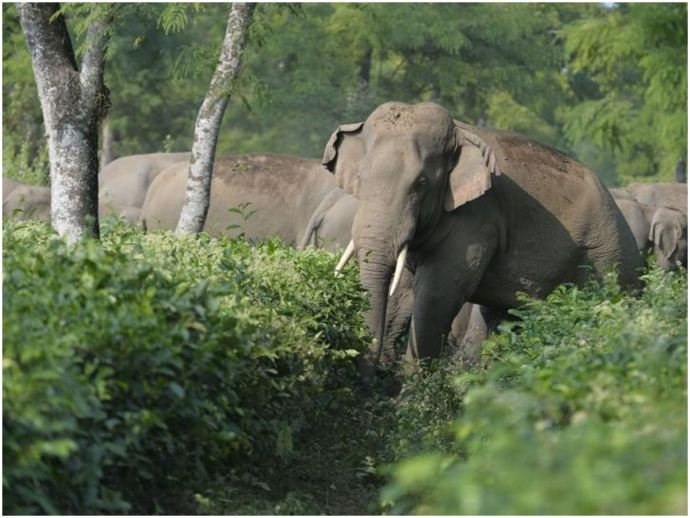 elephants, language, communication, communication barrier, hindi, kannada, jharkhand, karnataka, bandipur national park, Palamu tiger reserve
