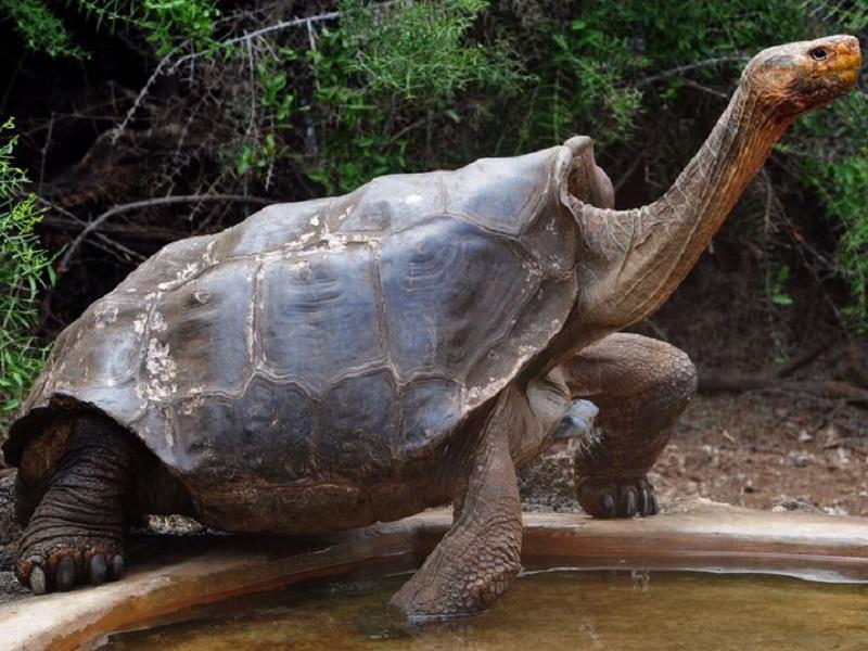Diego, Galapagos tortoise, 800 Children by Tortoise, Chelonoidis Hoodensis, Espanola, South America