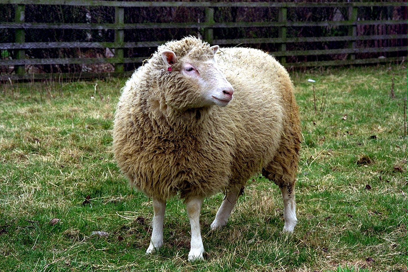 Dolly, The Sheep, Genetic Sheep, Genetically Engineered Sheep, osteoarthritis, Clone, Sheep Clone