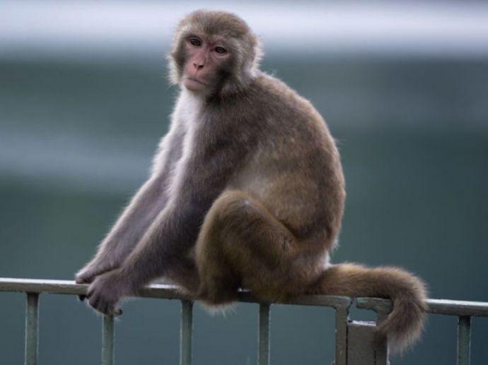 nagpur, nagpur news, man kill monkey, monkey, forest department, mumbai