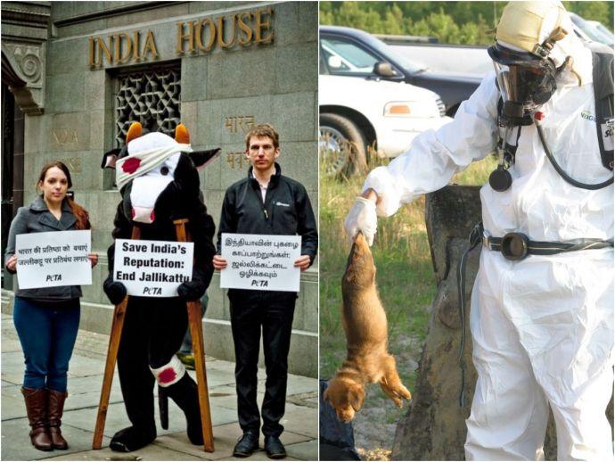 PETA, Jallikattu, sport, tamil nadu, animals, kill, US, virginia, Lynchburg Humane Society