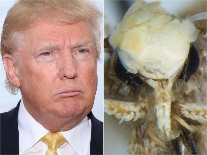 "Donald trump. ""Neopalpa donaldtrumpi, Moth, Blonde, president, us"