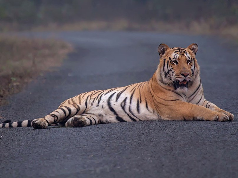 Asia's Biggest Missing Tiger, Missing Jai, Tiger Jai, Umred Karhandla Wildlife Sanctuary