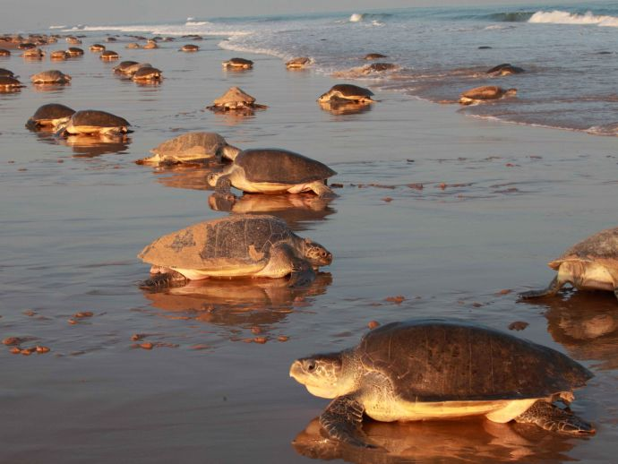 Endangered Olive Ridley turtles, Odisha, india, eggs, turtles, beaches, wildlife, marine life, forest department