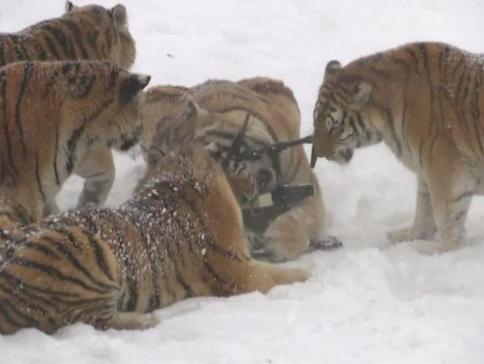 Siberian tigers, tigers, China, wildlife, drones, wildlife parks