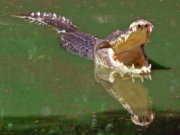 crocodile, trap, bait, dangerous, idiots of the century, Australia, Queensland, environment